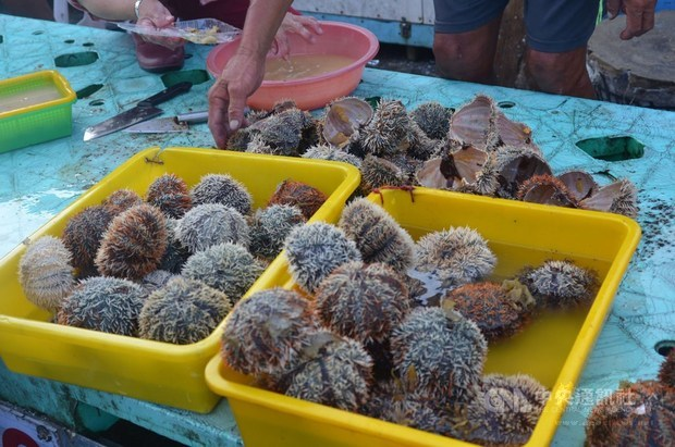 Sea urchin harvesting period opens in Penghu County