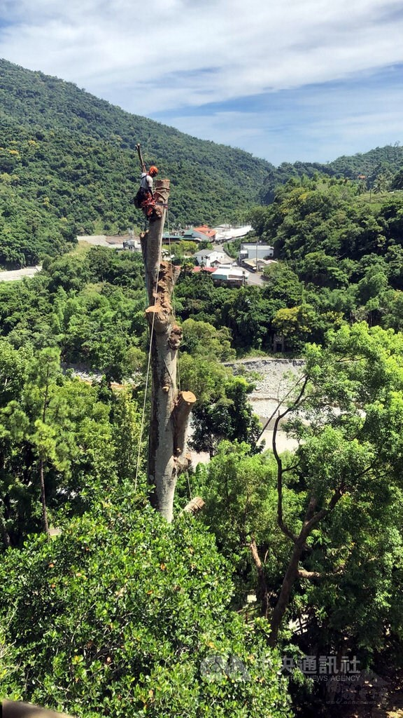 Tree surgeons cut down infected 35-meter-tall tree in Taitung